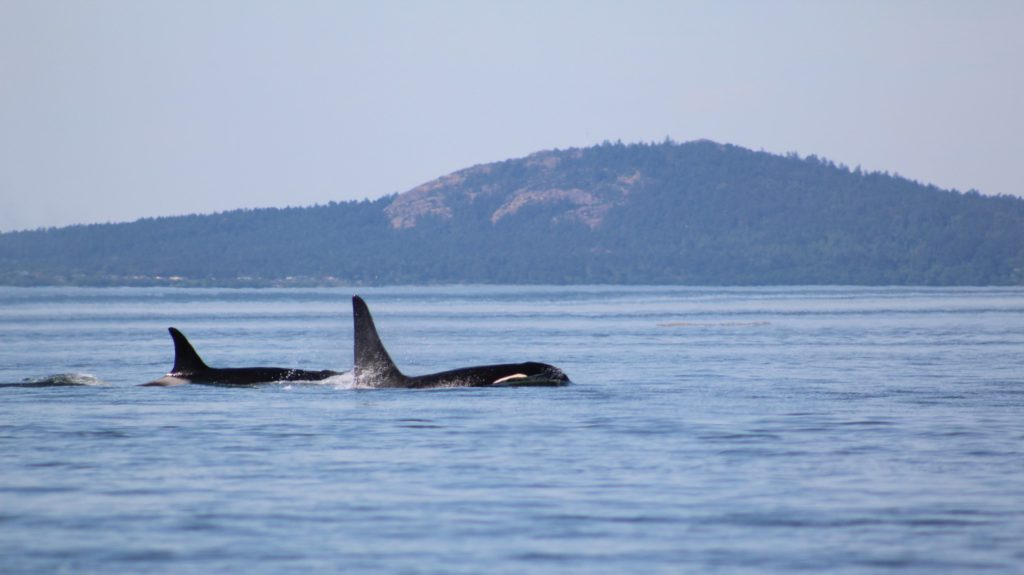 For Immediate Release - San Juan County Boaters Encouraged to 'Be Whale Wise'